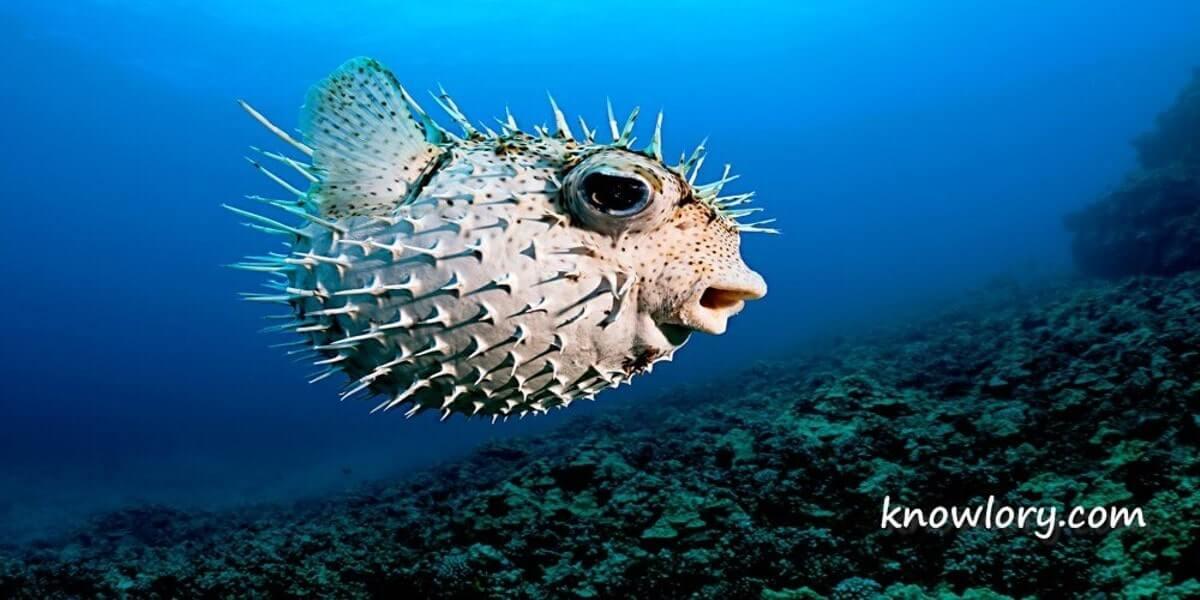 Fugu Fish Image